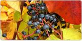 山ぶどう収穫体験(10月限定)