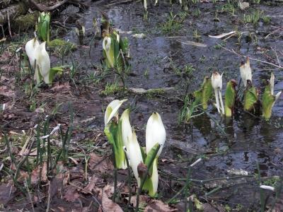 森のこだま館 四季 水芭蕉