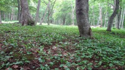 森のこだま館 つつじまつり